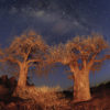 Tuli Safari Lodge baobab trees